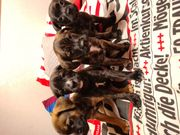 Labrador Mischlinge