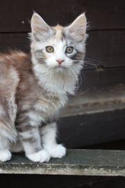 Typvolles Maine Coon Kitten aus