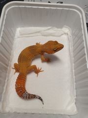 Leopardgecko NZ aus 2020
