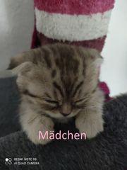 Scottish Fold Kitten BKH Mix