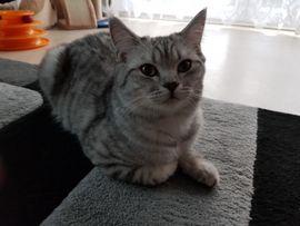 Katzen - BKH Deckkater blg B