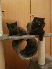Britische kurzhaar Kätzchen