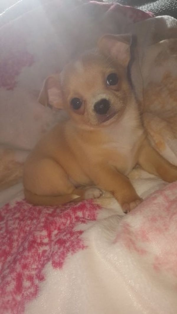 Chihuahua Welpen suchen ein zuhause