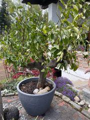Zitronenbaum 2m Höhe