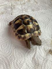 Griechische Breitrand Schildkröten Landschildkröte THB
