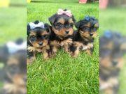 Yorkshire terrier mini welpen hgc