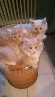 Wunderschöne kleine reinrassige Maine-Coon Kitten