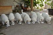 Pyrenäenberghund Welpen von Champion-Eltern dysplasiefrei