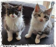 Maine Coon Kitten - 2 Mädels