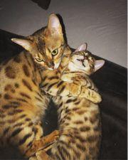 Bengal Kätzchen sucht neuen Dosenöffner
