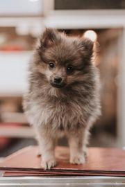 Unsere hübsche Reinrassige Pomeranian Hündin