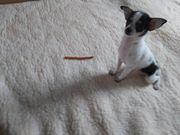 Reinrassige Chihuahua Hündin