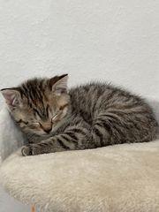Hauskatze BKH Mix Kitten