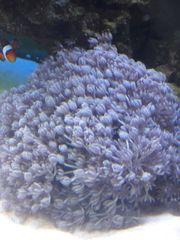 Weichkorallen Xenien Ableger Meerwasser