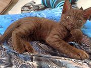 Baby katzen kittens siam bkh
