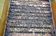 Verkaufe Bienenvölker DNM