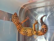 2x Leopardgecko weibl NZ 08