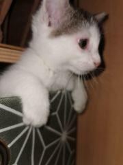 Leyla Sibirische Katze Mix Kitten