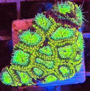 Meerwasser Favia Green WAR Frag