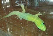 Goldstaubtaggecko Laticauda Laticauda 0 1