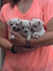 Bischon Gechipt Babys Chihuahua Typvolle