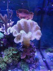 Pilzlederkoralle Meerwasser Koralle