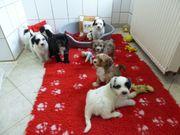 Tibet-Terrier-Welpen mit Pap