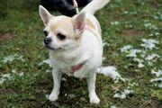 Daffy senior Chihuahua Hündin sucht