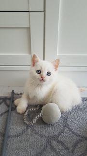 BKH Kitten noch 2 Kater