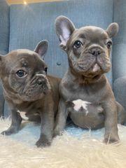 Französische Bulldogge Welpen Blau