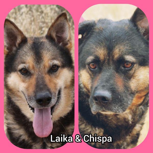 LAIKA CHISPA - zwei Schäfi-Mix-Hündinnen hoffen