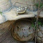 Spornschildkröten Sulcata