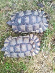 Breitrandschildkröten Männchen adult
