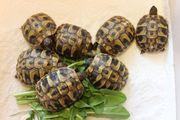 Schöne griechische Lanschildkröten