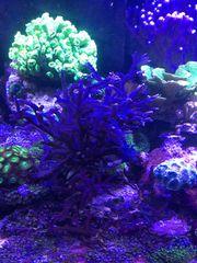Korallen Korallenableger und Mutterkoralle Meerwasser