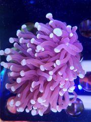 Korallenableger WYSIWYG - Was weg ist