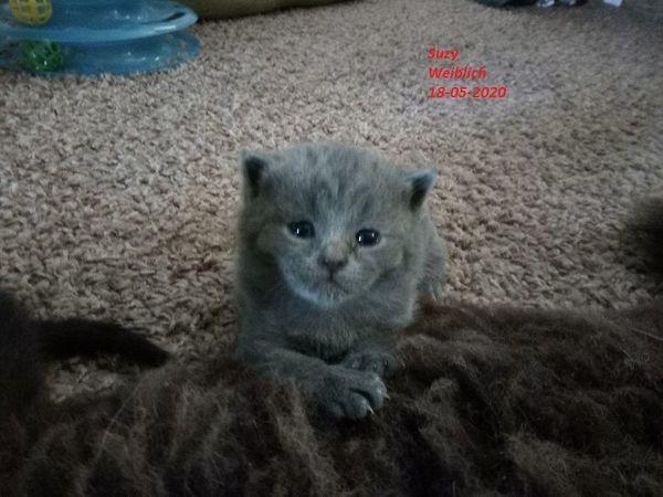 BKH Scottisch Fold Kittens