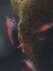 Rote Hawaii-Garnele - Halocaridina rubra