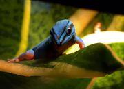 Lygodactylus williamsi 1 0 Männchen