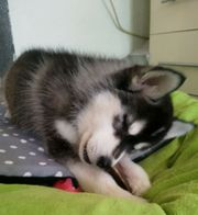 Siberian Husky Welpen reinrassig m