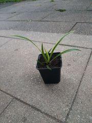leicht gepflegt Zimmerpflanz grüne lilie