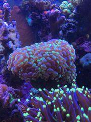 Koralle LPS Fidschi Euphyllia neon