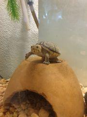 Moschusschildkröte RESERVIERT bis Anfang Juni