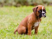 Suche Boxer Mischlingswelpen