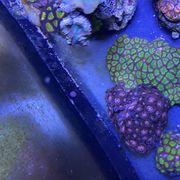 Versand verschiedene Sorten Zoanthus Korallen