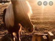 Reitbeteiligung auf Islandpferden Trudering