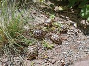 Breitrandschildkröten - Babys 1 Jahr alt