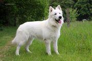 Deckrüde Weißer Schäferhund kein Verkauf