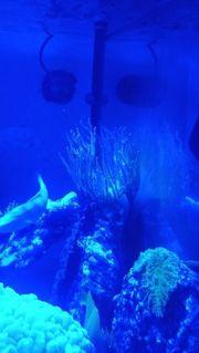 Meerwasser kupfer quadricolor Anemone