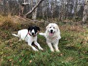Pyrenäenberghund Doggenmix